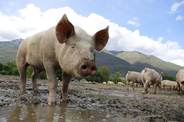 Dlaczego wieprzowina jest niezdrowa?