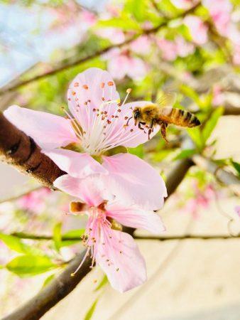 Pszczoła leci do kwiatów jabłoni aby je zapylić i zebrać pyłek