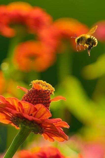 pszczoła lecąca na czerwony kwiatek