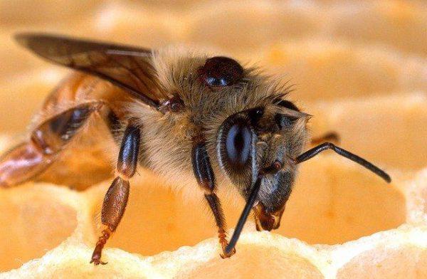 Pszczoła z kleszczem Varroa Destructor
