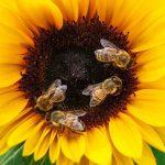 pszczoły zbierają nektar z żółtego kwiatu słonecznika