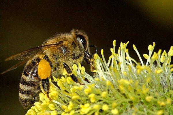 pszczoła zbiera pyłek kwiatowy z żółtego kwiatka