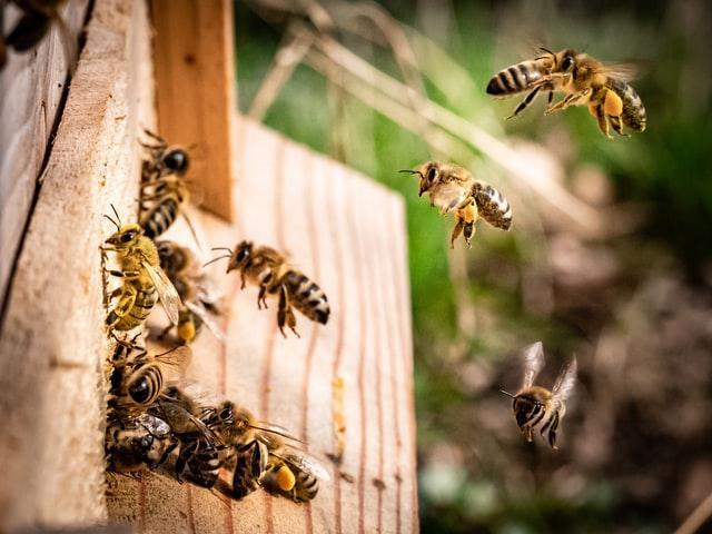 pszczoły wracają do ula z leczniczym pyłkiem kwiatowym który ma właściwości lecznicze