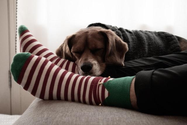 Pies śpi na nogach właściciela