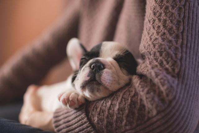 Mały szczeniak leży w przytulony do właściciela w brązowym swetrze