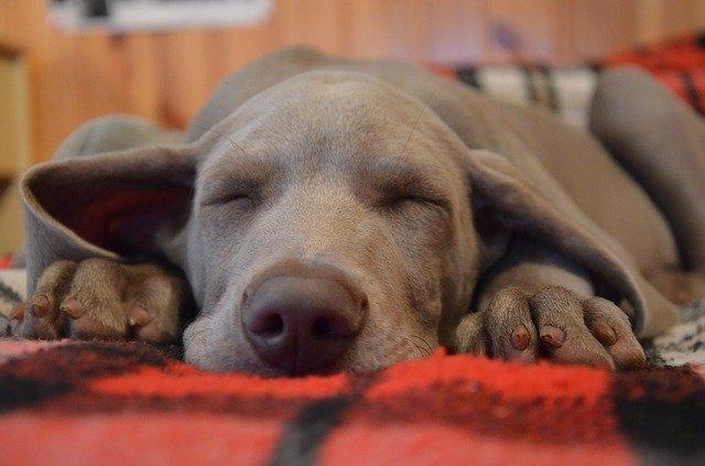 Dlaczego pies śpi przy głowie